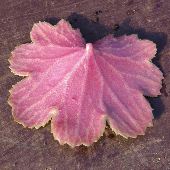 Cortusifolia Rowena Revenclaw JP-6794