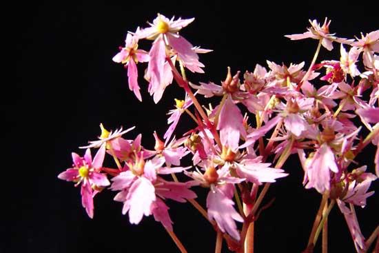 Cortusifolia-Hybride Akaishi-dake JP-6686