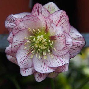 x orientalis ' SP Lily '-0