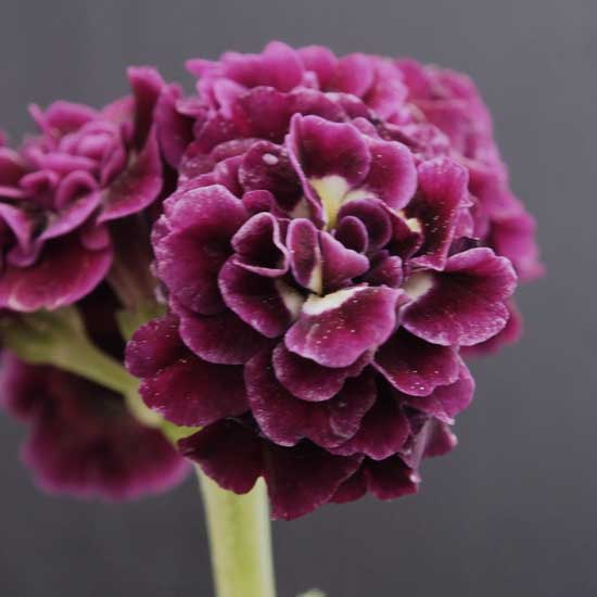 x auricula Checkmate-0