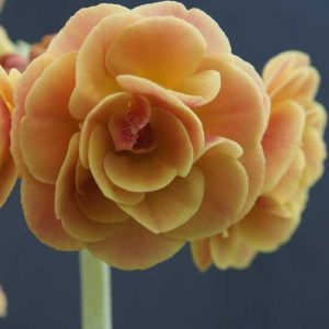 x auricula Forest Kingcup-0