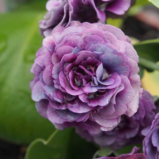 x auricula Forest Purple Penny-0