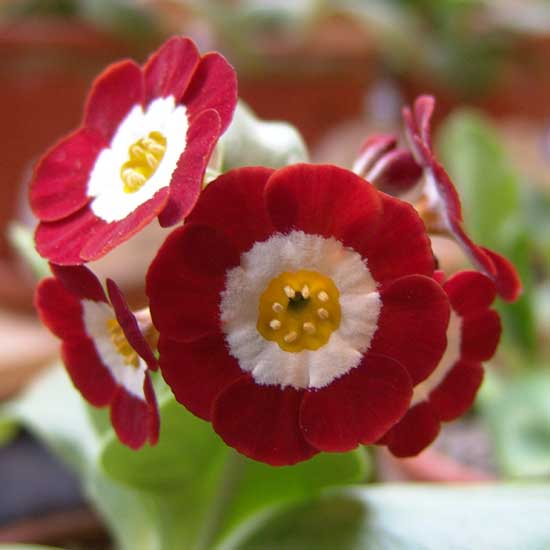 x auricula Simply Red-0