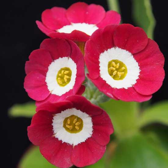 x auricula Strawberry Fiels-0
