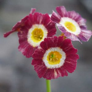 x auricula ' The Argylles '-0