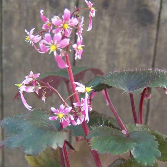 Cortusifolia-Hijiri-dake JP-7261