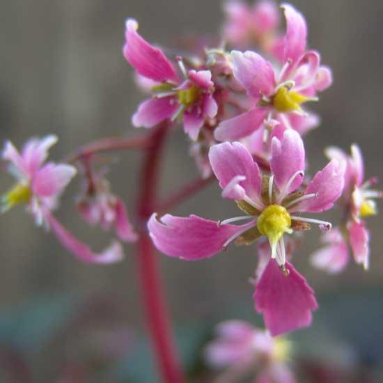 Cortusifolia-Hijiri-dake JP-0