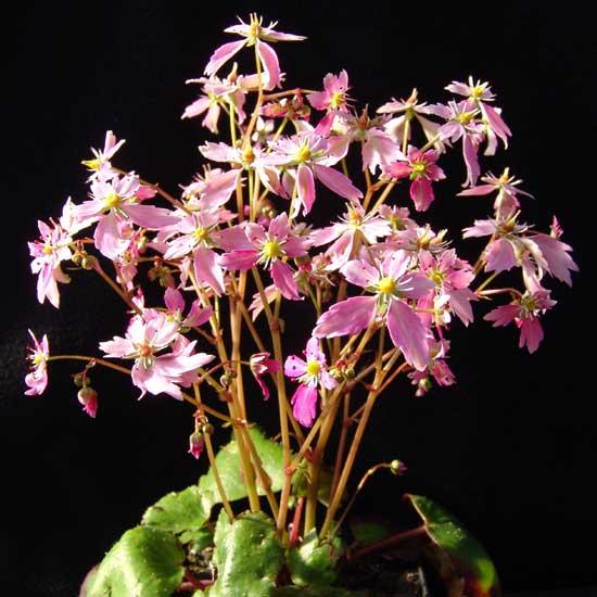Cortusifolia-Kisokomagadake JP-0