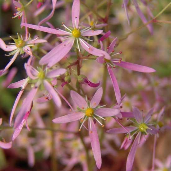 Cortusifolia-Kohana JP-0