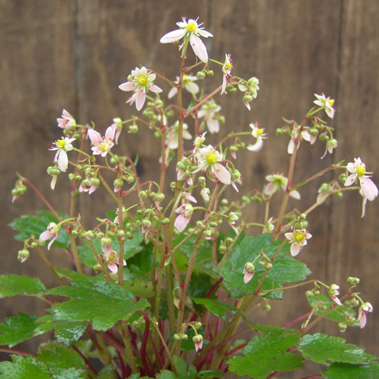 "Cortusifolia-Mina ""Margery"" Crandon JP-7280"