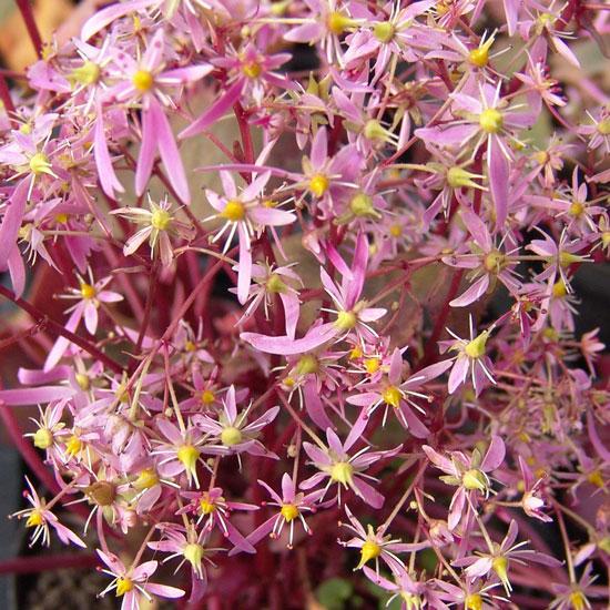 Cortusifolia-Shirouma-dake JP-0