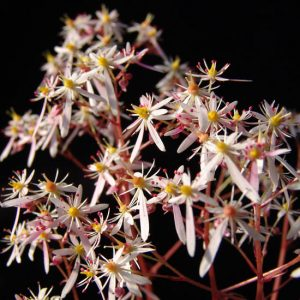 Cortusifolia-Warusawa-dake JP-0