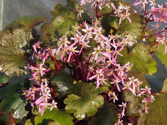 Cortusifolia-Yutaka JP-8447