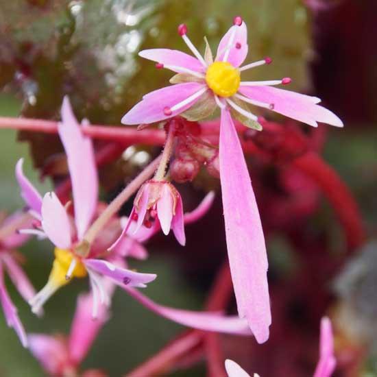 Cortusifolia-Yutaka JP-8448