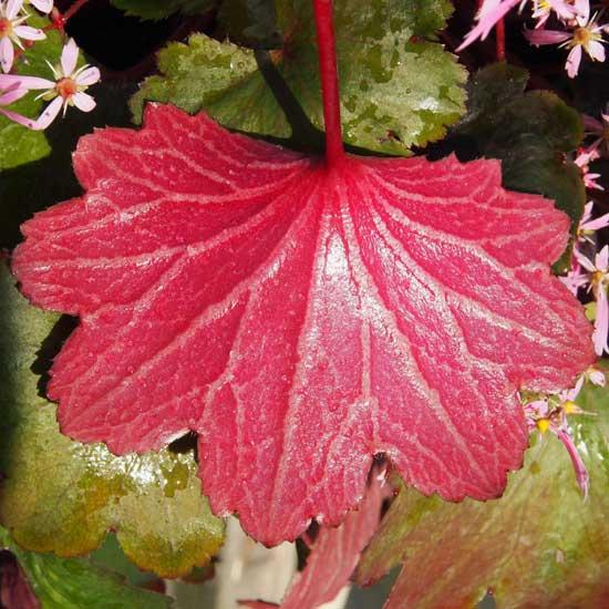 Cortusifolia-Yutaka JP-8449