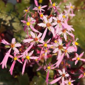 Cortusifolia-Yutaka JP-0