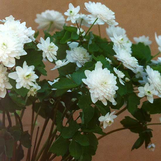 thalictroides White Bell's-0