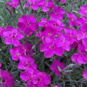 grantianopolitanus Babi Lom-0