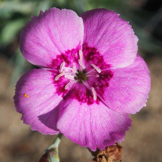 grantianopolitanus Gütle-0