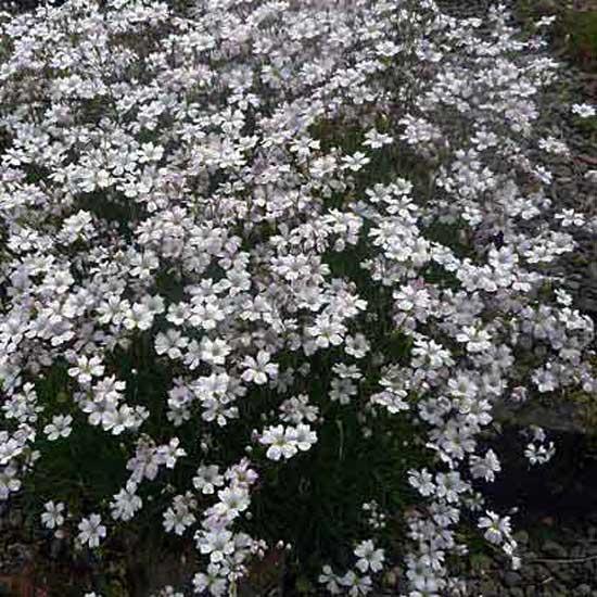 tenuifolia-7754