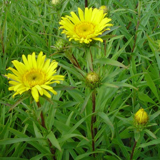 ensifolia Compacta-7731