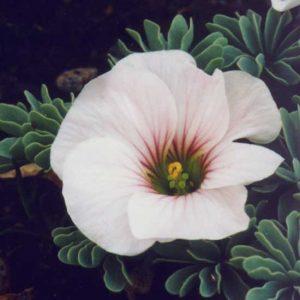 adenophylla x laciniata Ute-0