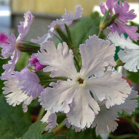sieboldii Lilac Sambonnet-0
