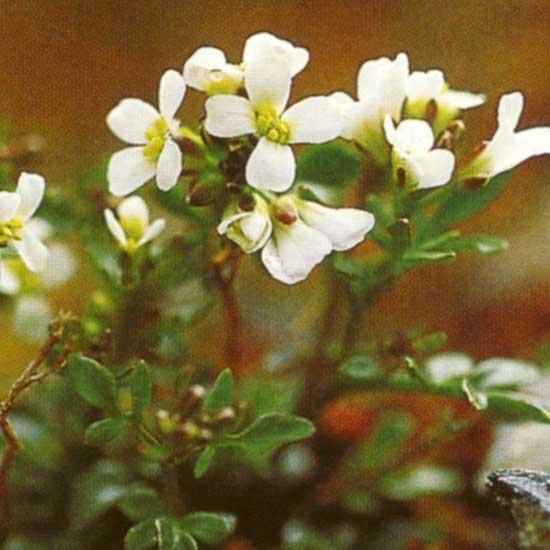 alpina ssp. auerswaldii-0