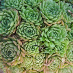 chrysantha-0