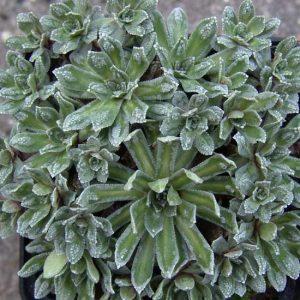 x paniculata Cockscomb-0