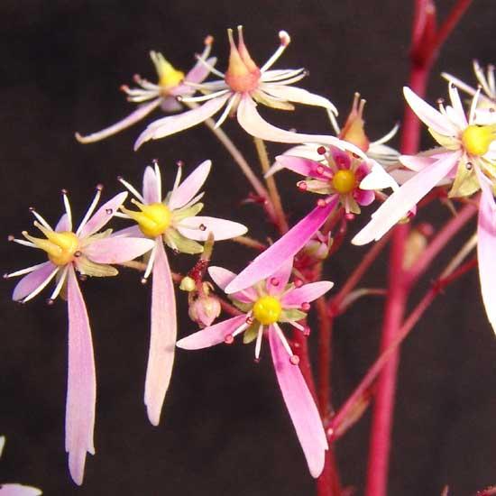 Cortusifolia-Haruko JP-0
