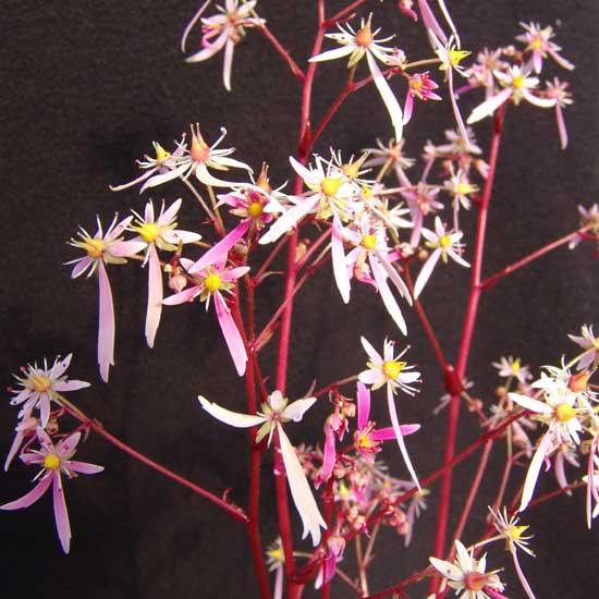 Cortusifolia-Haruko JP-7777