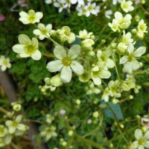 x paniculata Lutea-0