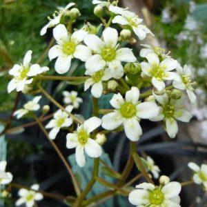 x paniculata Orientalis-0