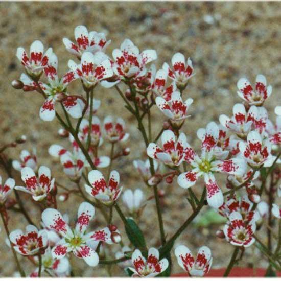cotyledon Southside Seedling-0