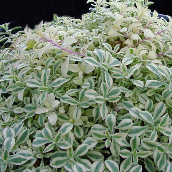 vulgaris ssp. maritima Druett's Variegated-0