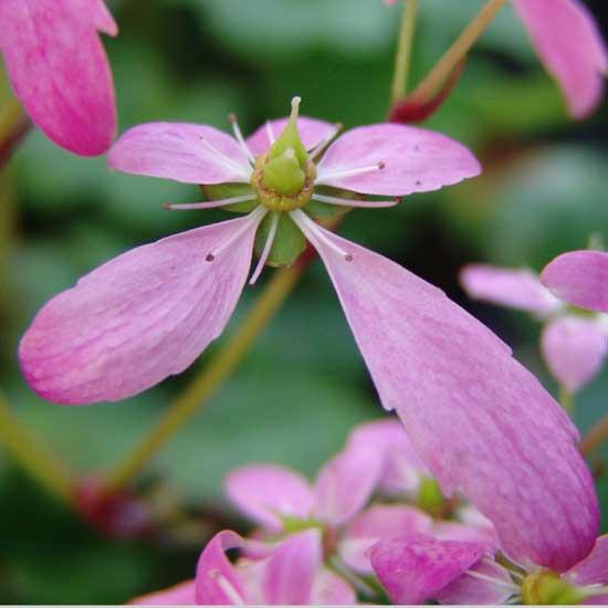 Cortusifolia-Taiki JP-7629