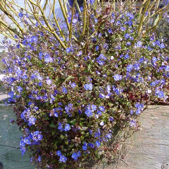 peduncularis Georgia Blue-0