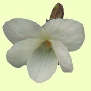 odorata Alba-0