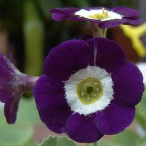 x auricula Everest Blue-0