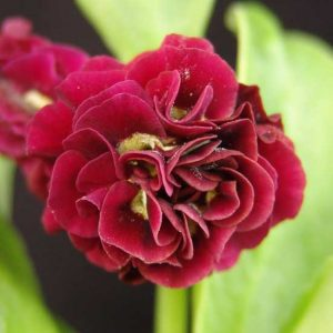 x auricula Forest Bordeaux-0