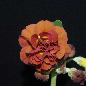 x auricula Forest Pecan-0