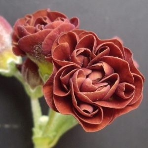 x auricula Forest Autumn Glow-0
