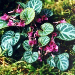 variegata var. nipponica-0