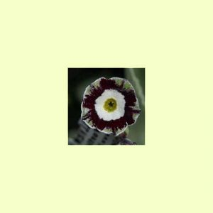x auricula X2 -Green and Black-0