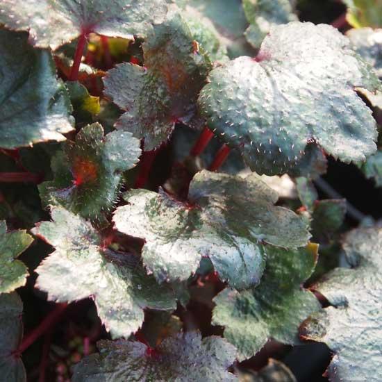Cortusifolia-Reika JP-8463