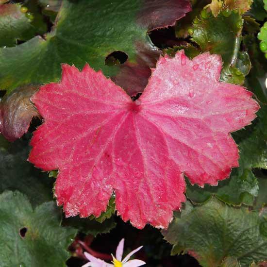 Cortusifolia-Reika JP-8465