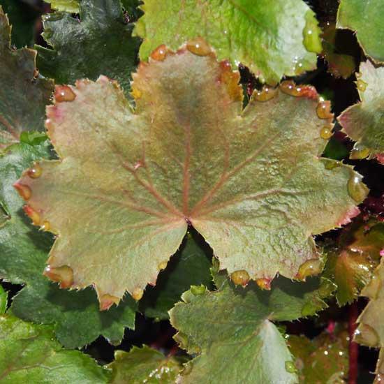 Cortusifolia-Reika JP-8467