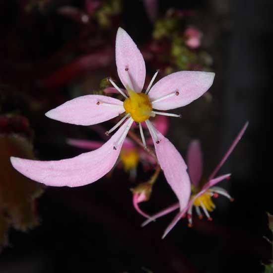Cortusifolia-Reika JP-0