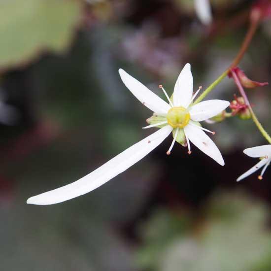 Cortusifolia-Susumu JP-8453
